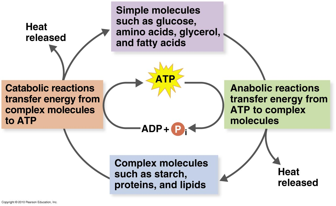 Metabolic process test review